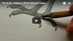 Bobwhite Quail in the Bog - This video shows how I draw the feet and claws using a crow quill pen.