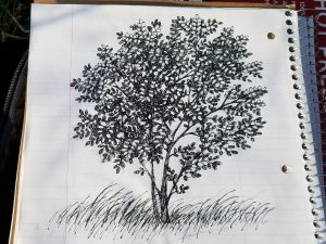 Sketching a Black Locust Tree Outdoors - The final sketch.